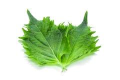 Grön Shiso Leaf royaltyfri bild