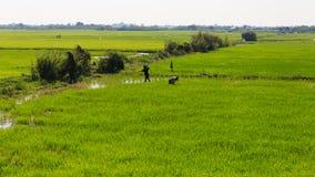 Grön sikt av Paddy Field Arkivfoto