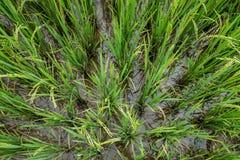 Grön sikt för risfält överst Arkivfoton