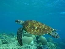 grön sköldpadda Royaltyfria Foton
