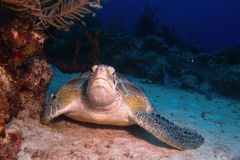 Grön sköldpadda Arkivbilder
