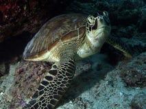 grön sköldpadda Royaltyfri Foto