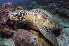 grön sköldpadda Royaltyfri Bild