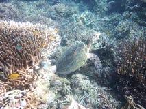Grön sköldpadda av Komodo royaltyfri bild