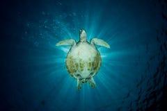 Grön sköldpadda - Cheloniamydas Royaltyfri Foto