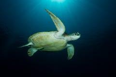 Grön sköldpadda - Cheloniamydas Fotografering för Bildbyråer
