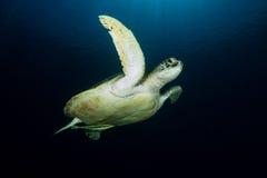 Grön sköldpadda - Cheloniamydas Royaltyfri Fotografi