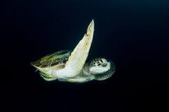 Grön sköldpadda - Cheloniamydas Arkivfoton