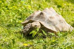 grön sköldpadda för gräs Royaltyfri Bild
