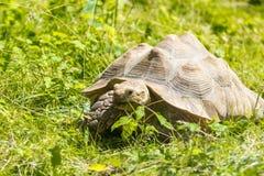 grön sköldpadda för gräs Arkivfoto