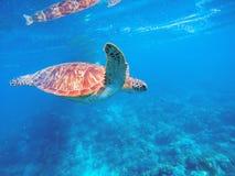 Grön sköldpadda i blått vatten Lös grön sköldpadda i den tropiska lagun Tropiskt marin- djurliv Royaltyfri Foto