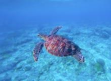 Grön sköldpadda i havsvatten med seabottombakgrund Undervattens- fotografi av det lösa oceaniska djuret Arkivbilder