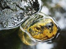 Grön sköldpadda i pölen i en Sunny Day fotografering för bildbyråer