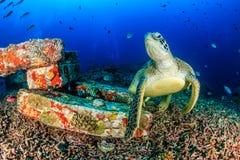 Grön sköldpadda på en mörk korallrev Fotografering för Bildbyråer