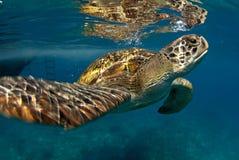 Grön sköldpadda på Similan, Thailand Fotografering för Bildbyråer