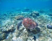 Grön sköldpadda som är undervattens- i det blåa havet Älskvärt havsdjur i löst naturcloseupfoto Royaltyfria Foton