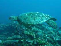 Grön sköldpadda som simmar över korallreven Royaltyfria Foton