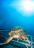 Grön sköldpadda som sitts på en konstgjord rev royaltyfri fotografi