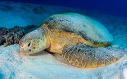 Grön sköldpadda som vilar på havsbottnen arkivbilder