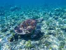 Grön sköldpadda under solljusreflexioner Grön sköldpadda i havsvatten arkivfoton