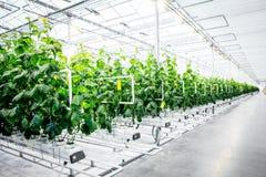 Grön skörd i modernt växthus arkivbild