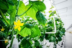 Grön skörd i modernt växthus arkivfoton