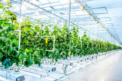 Grön skörd i modernt växthus fotografering för bildbyråer