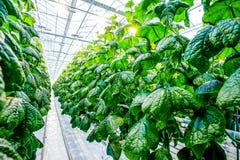 Grön skörd i modernt växthus arkivbilder