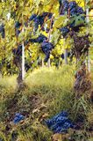 Grön skörd i vingården av baroloen Italien Royaltyfri Fotografi