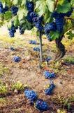 Grön skörd i vingården av baroloen Italien Royaltyfri Bild