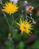 Grön skalbagge på en blomning Arkivbilder