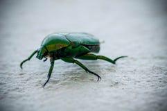 Grön skarabé Arkivfoto