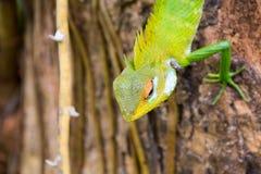 Grön skogödla i Sri Lanka arkivbilder