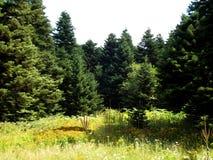 Grön skog för naturligt solljus och gul äng royaltyfria bilder