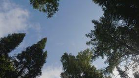 Grön skog Nedersta sikt av högväxta gamla träd i vintergrön urtids- skog Royaltyfria Foton