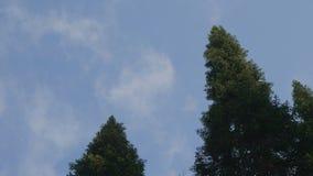 Grön skog Nedersta sikt av högväxta gamla träd i vintergrön urtids- skog Arkivbild