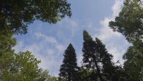 Grön skog Nedersta sikt av högväxta gamla träd i vintergrön urtids- skog Royaltyfri Fotografi