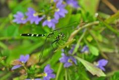 Grön slända på stammen av Verbena Royaltyfri Foto