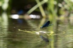Grön slända på vattnet royaltyfria bilder