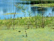Grön slam i träsket Royaltyfria Foton