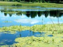 Grön slam i träsket Royaltyfri Foto