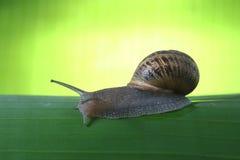 grön snail Arkivbilder
