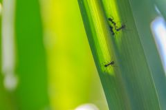 Grön sockerrörbladbakgrund med svarta små myror och valt Royaltyfri Foto