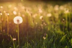 Grön sommaräng med maskrosor på solnedgången mot bakgrund field blåa oklarheter för grön vitt wispy natursky för gräs Royaltyfria Bilder