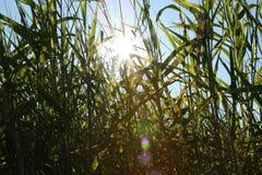 grön sommar för gräs arkivfoton