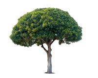 grön sommartree Royaltyfri Fotografi
