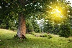 grön sommartree Arkivbild