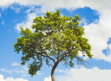 grön sommartree Arkivfoton