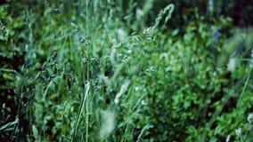 Grön spikelet av änggräs i vinden mot en bakgrund av grönt gräs lager videofilmer