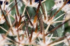 grön spikey för kaktus Royaltyfria Bilder